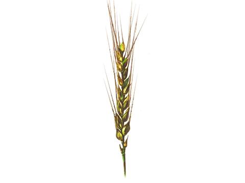 Бактериоз черный пшеницы