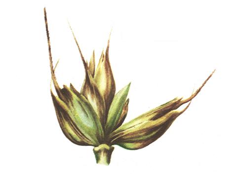 Бактериоз черный пшеницы - Деталь колоска