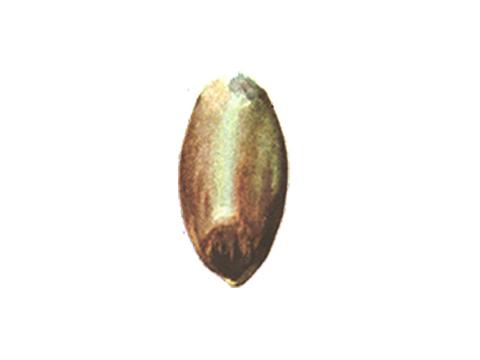 Бактериоз черный пшеницы - Зерновка