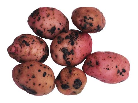 Парша черная картофеля