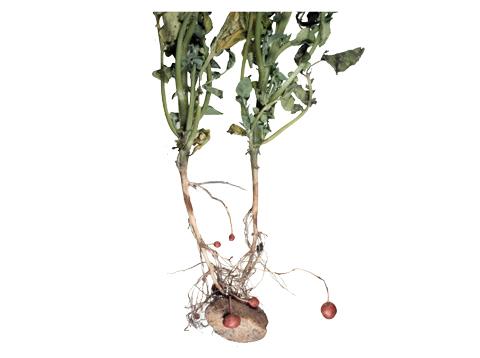 Парша черная картофеля - Пораженное растение.