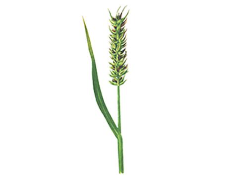 Головня карликовая пшеницы