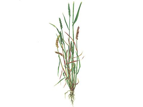 Головня карликовая пшеницы - Пораженная пшеница с корневыми отпрысками, в разной степени задержанными в росте