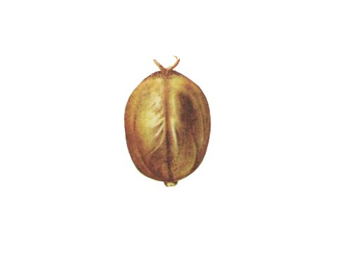 Головня карликовая пшеницы - Изуродованная зерновка, превращенная в сорус