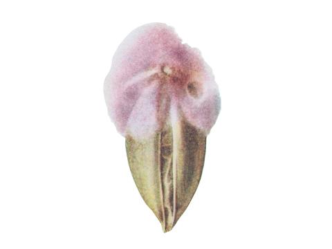 Плесневение семян - Пораженная зерновка (Fusarium culmorum)