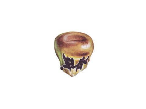 Плесневение семян - Пораженная зерновка кукурузы со склероциями (Botrytis cinerea)