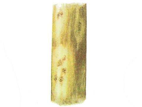 Гниль корневая ризоктониозная пшеницы - Деталь пятен с хлопьями грибницы