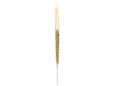 Фузариоз колоса злаковых культур - Пораженный колос ячменя