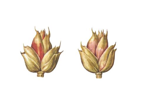 Фузариоз колоса злаковых культур - Пораженные колоски пшеницы