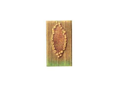Ржавчина карликовая ячменя - Деталь листа с эцидиями по окружности пятна и с отверстиями спермогоний в центре пятна