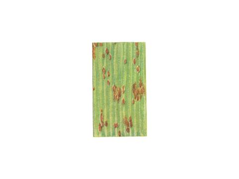 Ржавчина карликовая ячменя - Деталь листа ячменя с уредопустулами