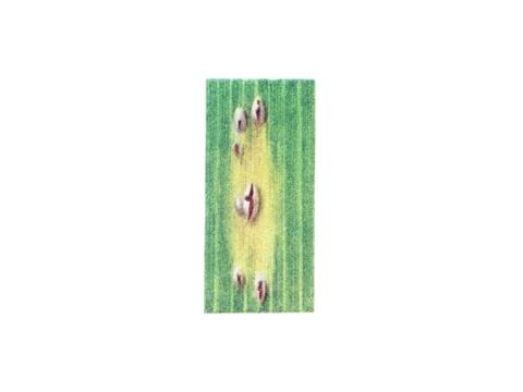 Ржавчина карликовая ячменя - Расположение уредопустул на листе сеянца ячменя
