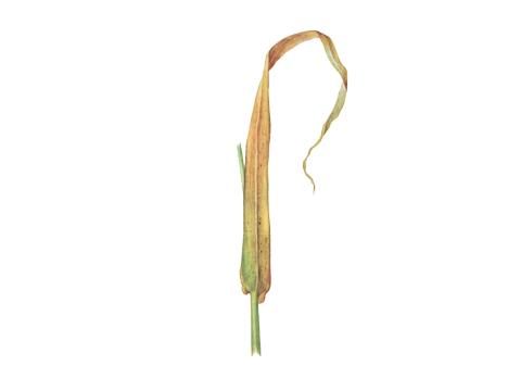 Ржавчина карликовая ячменя - Телейтопустулы на нижней стороне засыхающего листа ячменя