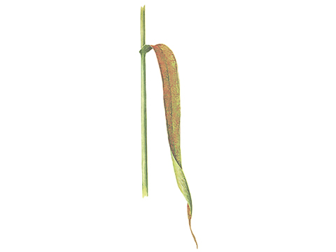 Ржавчина бурая листовая пшеницы