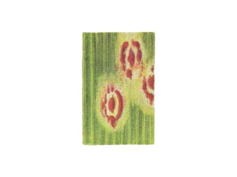 Ржавчина бурая листовая пшеницы - Уредопустулы на сеянце