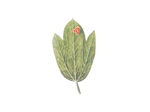 Ржавчина бурая листовая пшеницы - Деталь листа василистника с группой эцидий
