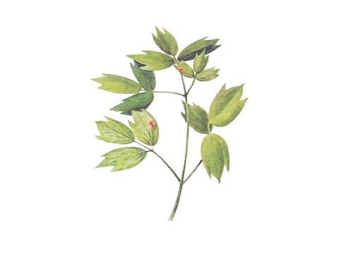 Ржавчина бурая листовая пшеницы - Эцидии на листе василистника.
