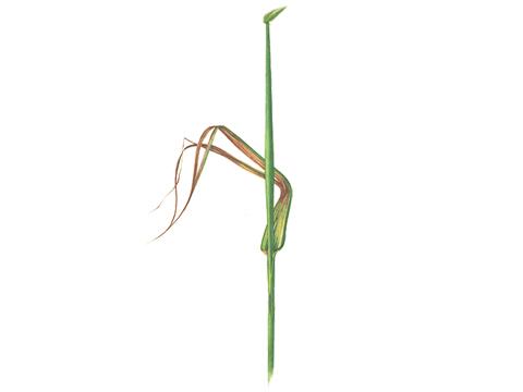 Пятнистость полосатая ячменя - Засыхание тканей и растрепывание листьев.
