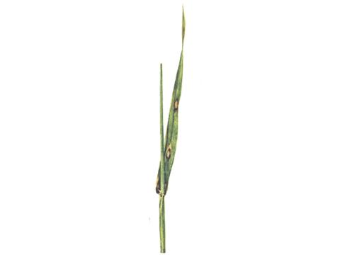 Ринхоспориоз - Разные степени заболевания листьев ячменя.