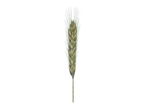 Гниль склероциальная - Колос пораженного растения ржи