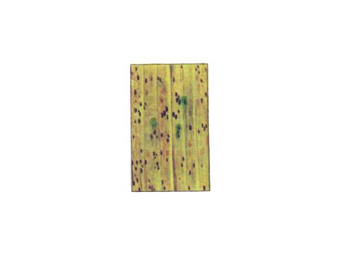 Ржавчина бурая листовая ржи - Деталь листа с телейтопустулами