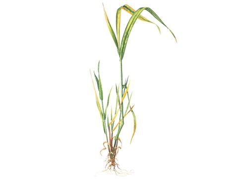 Карликовость желтая ячменя - Пораженная озимая пшеница