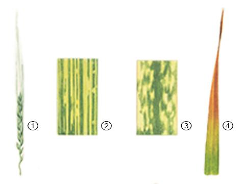 Карликовость желтая ячменя - 1. Поврежденный колос ячменя; 2. Деталь признаков на листе; 3. Деталь признаков на листе; 4. Признаки на листе овса.