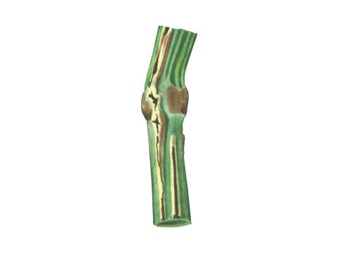 Головня стеблевая ржи - Деталь пораженной части стебля