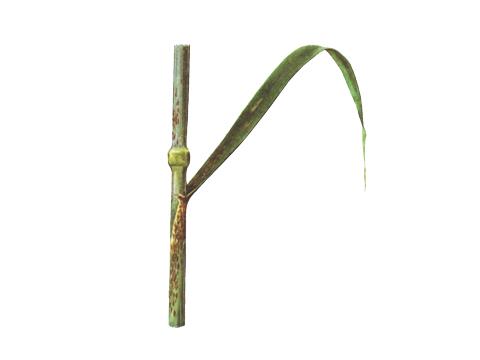 Ржавчина стеблевая (линейная) зерновых