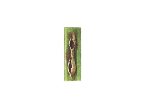 Ржавчина стеблевая (линейная) зерновых - Уредопустула