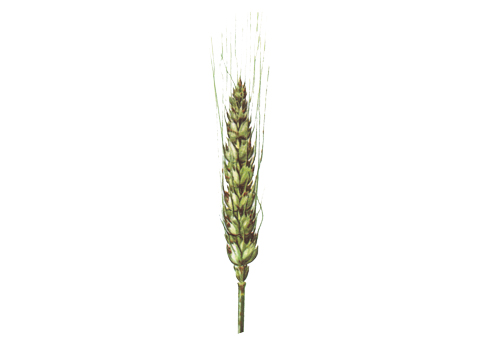 Ржавчина стеблевая (линейная) зерновых - Уредопустулы на колосе пшеницы