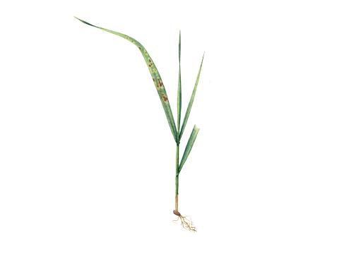 Ржавчина стеблевая (линейная) зерновых - Уредопустулы на всходах пшеницы
