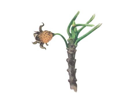 Ржавчина корончатая овса - Эцидии на цветках крушины[10]