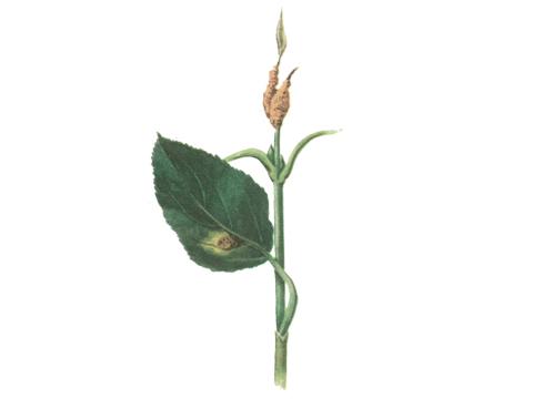 Ржавчина корончатая овса - Эцидии на молодых ветвях крушины и спермогонии на верхней стороне листа[10]