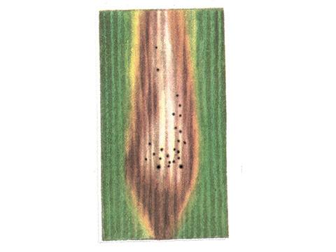 Аскохитоз злаковых культур - Деталь пятна с темными точками пикнид