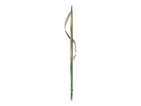 Ржавчина желтая зерновых культур - Телейтопустулы на влагалище листа.