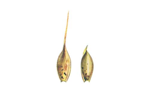 Ржавчина желтая зерновых культур - Телейтопустулы на внутренней стороне колосковой и цветковой чешуек