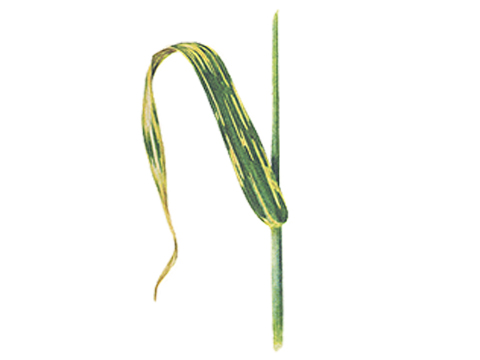 Ржавчина желтая зерновых культур - На листьях сорта Heines VII после обильных дождей остаются бледные полосы с одиночными кучками.