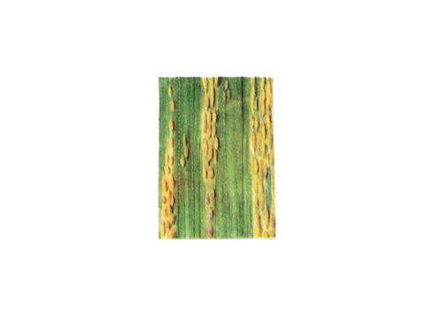 Ржавчина желтая зерновых культур - Деталь листа с уредопустулами