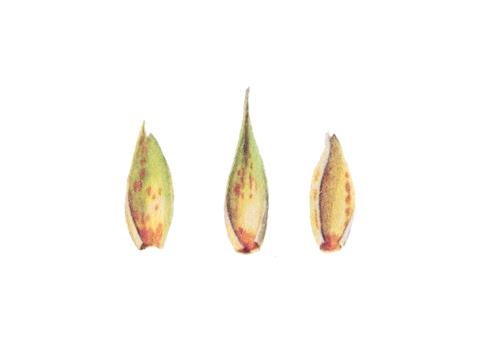 Ржавчина желтая зерновых культур - Уредопустулы на колосковых и цветковых чешуйках