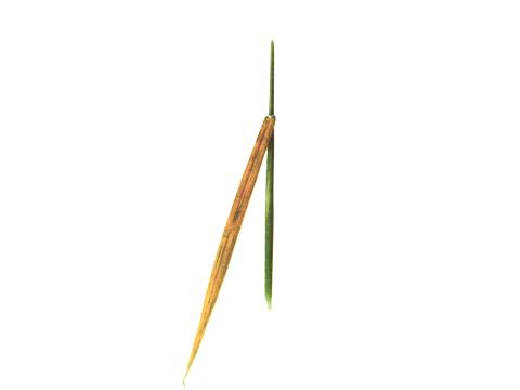 Ржавчина желтая зерновых культур - Уредопустулы на листовой пластинке весьма склонного к заболеванию сорта пшеницы.