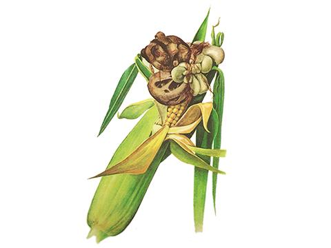 Головня пузырчатая кукурузы - Сорусы на початке