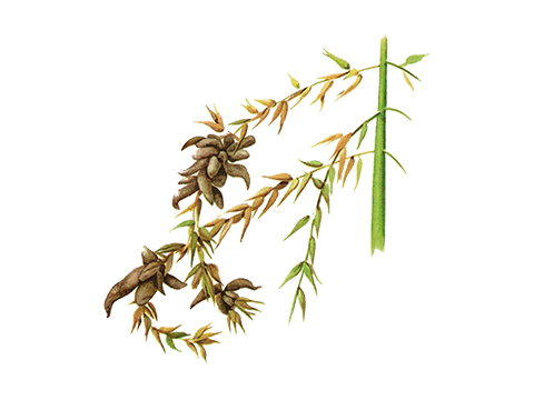Головня пузырчатая кукурузы - Сорусы на тычиночном соцветии