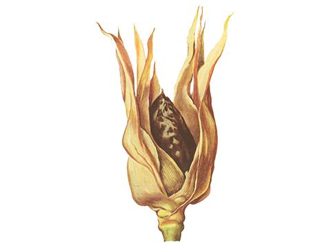 Головня пыльная кукурузы - Пораженный початок кукурузы перед распылением хламидоспор