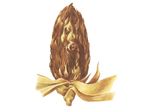 Головня пыльная кукурузы - Сорус головни, из которого была распылена часть хламидоспор