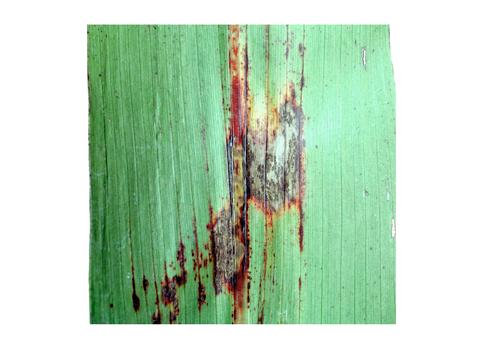Антракноз кукурузы - Часть пораженного листа