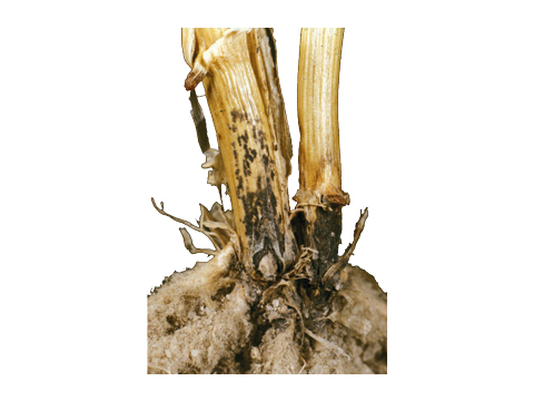 Антракноз кукурузы - Пораженное основание стебля