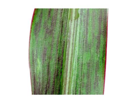 Вирус карликовой мозаики кукурузы (ВКМК) - Часть пораженного листа