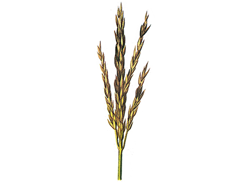 Гельминтоспориоз стеблей