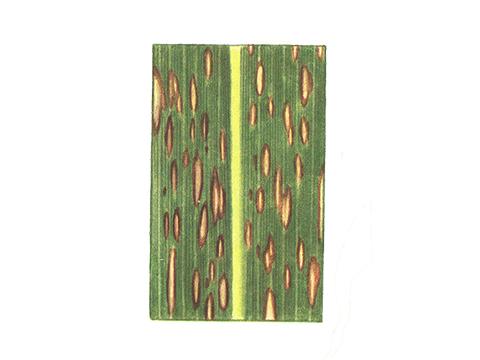 Гельминтоспориоз стеблей - Деталь пятен на листе кукурузы